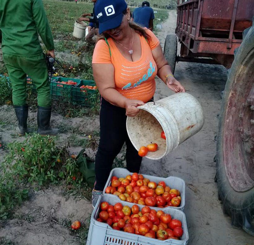 Recogida de tomate (6)