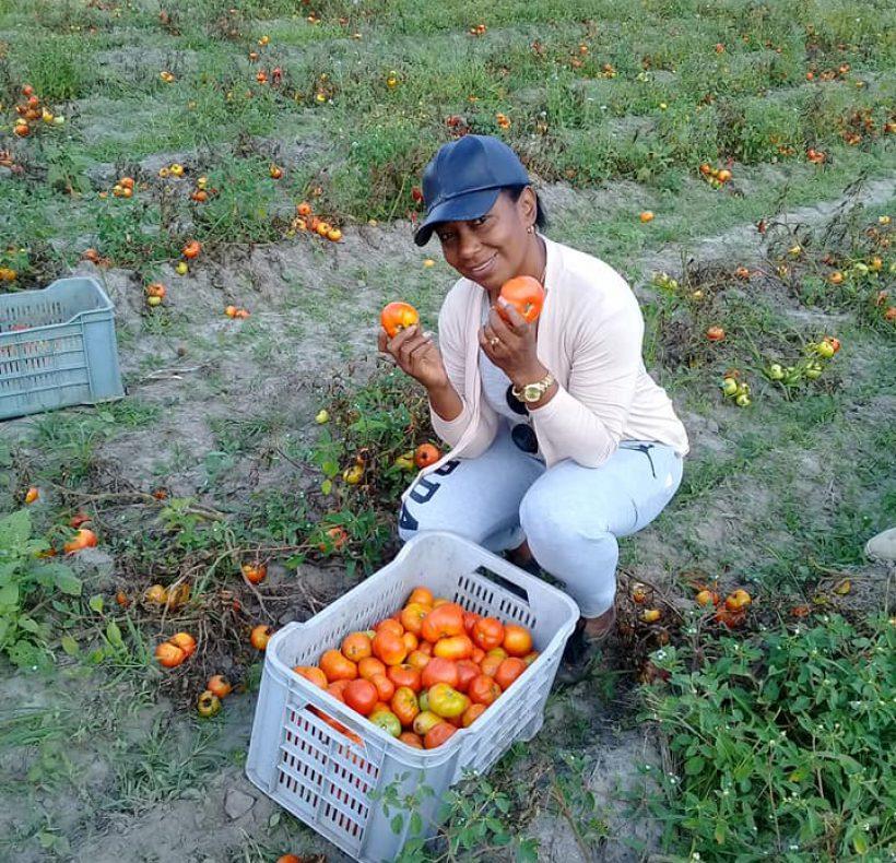 Recogida de tomate (8)